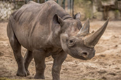 在动物园的逗人喜爱的小犀牛在柏林 免版税库存图片