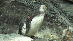 在动物园的野生企鹅 影视素材