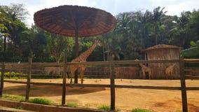 在动物园的长颈鹿在圣保罗 免版税库存照片