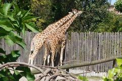 在动物园的长颈鹿在罗马,意大利 免版税库存照片