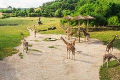 在动物园的长颈鹿牧群 免版税库存照片