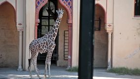 在动物园的长颈鹿 免版税库存照片