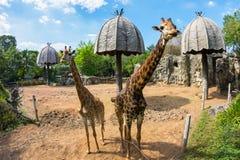 在动物园的长颈鹿 库存图片
