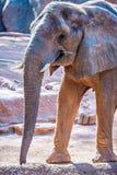 在动物园的非洲大象非洲象属Africana饲养时间 免版税图库摄影