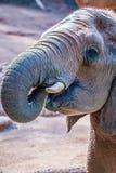 在动物园的非洲大象非洲象属Africana饲养时间 免版税库存图片