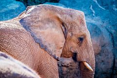 在动物园的非洲大象非洲象属Africana饲养时间 库存图片