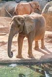 在动物园的非洲大象非洲象属Africana饲养时间 库存照片