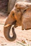 在动物园的非洲大象非洲象属Africana饲养时间 图库摄影