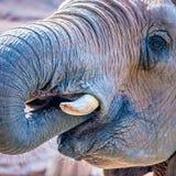在动物园的非洲大象非洲象属Africana饲养时间 免版税库存照片