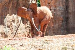 在动物园的非洲大象,泰国 免版税库存图片