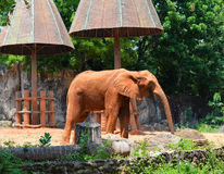 在动物园的非洲大象 库存照片