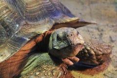 在动物园的非洲被激励的草龟 免版税库存照片