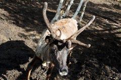 在动物园的驯鹿 免版税图库摄影