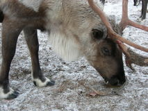 在动物园的驯鹿 库存照片