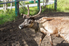 在动物园的驯鹿 免版税库存照片
