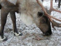 在动物园的驯鹿 免版税库存图片