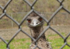 在动物园的鸸 免版税库存照片