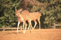 在动物园的鹿 免版税库存照片