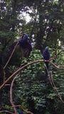 在动物园的2只风信花金刚鹦鹉 库存照片