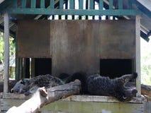 在动物园的巴拉望岛熊 Binturong Palawan海岛 股票视频