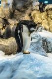 在动物园的Penquins在Loro公园,普埃尔托德拉克鲁斯,特内里费岛, 免版税库存图片
