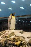 在动物园的Penquins在Loro公园,普埃尔托德拉克鲁斯,特内里费岛, 库存照片