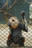 在动物园笼子的一只猴子 免版税库存照片