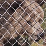 在动物园笼子的一头北美灰熊 免版税库存照片