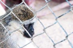 在动物园笼子的哀伤的猴子 两只猴子看的葡萄酒图象在丧气一个老牌动物园 在中央公园动物园里拍的照片 免版税库存图片