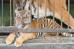 在动物园笼子的小的老虎 免版税库存照片