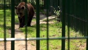 在动物园笼子的恶劣的动物棕熊步行在热的夏日 影视素材