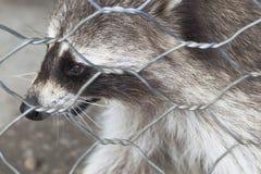 在动物园笼子的浣熊特写镜头 免版税库存图片