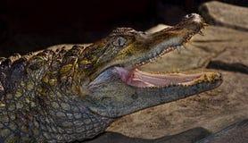 在动物园笼子的鳄鱼 免版税库存图片