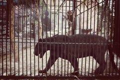 在动物园笼子的黑捷豹汽车  免版税库存图片