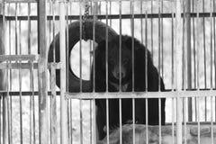 在动物园笼子的黑熊 免版税库存照片
