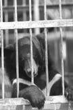 在动物园笼子的黑熊 免版税图库摄影