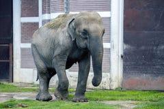 在动物园走的一头大象 免版税库存照片