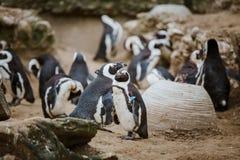 在动物园里凝视与其他企鹅的照相机的一只黑有脚的企鹅在背景中 库存图片