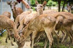 在动物园里喂养许多鹿, 免版税库存照片