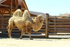 在动物园里描出一头两个小丘骆驼的画象 免版税库存图片