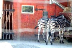 在动物园里,两匹斑马吃 免版税库存图片