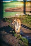 在动物园里 老虎咆哮声的垂直的图象 免版税库存图片