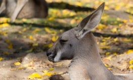 在动物园,布里斯班,澳大利亚的一只美丽的袋鼠 库存照片