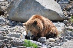在动物园StFelicien,魁北克,加拿大的北美灰熊 库存图片