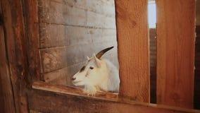 在动物摊位的山羊立场 股票录像