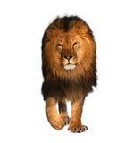 在动物的白国王隔绝的狮子走 免版税库存图片