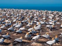 在助长殖民地新西兰的许多gannets 免版税库存照片