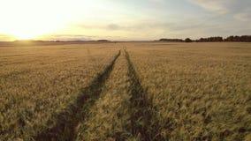 在努力去做入在大黄色麦田的距离的路的天线在金黄日落 影视素材