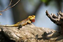 在努沃勒埃利耶的斯里兰卡的蜥蜴 免版税图库摄影