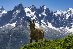 在勃朗峰断层块的背景的高地山羊 修改 图库摄影